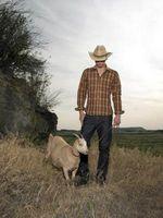 Cómo entrenar a un obstinado cabra