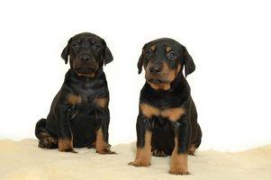 Cómo tratar un perro para Red Mange y Golpes Difusión en los lados