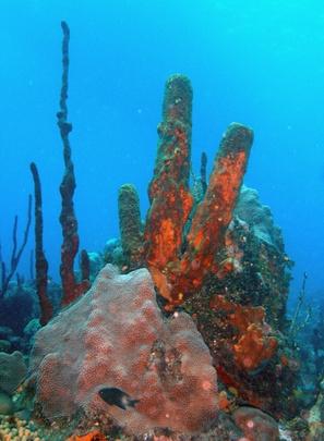 Sobre los arrecifes de coral del Caribe