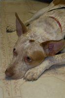 Peligros para perros de limpiadores de suelos