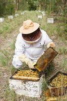 Cómo Trampa abejas con una pantalla