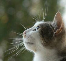 Alternativas a los antibióticos para la infección urinaria del gato