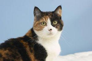 Remedios caseros para el gato Pulgas y señales
