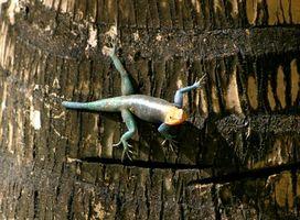 Cómo alimentar un lagarto de cola azul