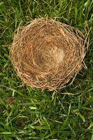 Cómo matar a un parásito en un nido de pájaros