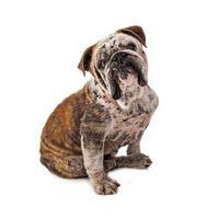 Los tratamientos de la sarna del perro