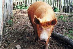 Cómo asar un cerdo mitad