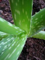 Son Aloe Vera plantas venenosas para los gatos?
