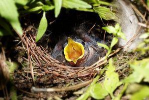 Cómo comer con cuchara un pájaro de bebé