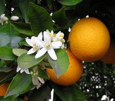 Cómo hacer Orange Amargos