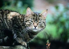Los potenciadores de sabor para gatos