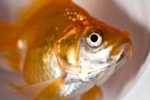 ¿Qué pasa cuando su pez de colores Tiene Fin Rot?