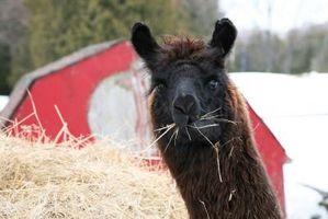 Cómo preparar una alpaca de Suri