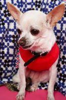 Cómo obtener tártaro fuera de los dientes de un Chihuahua