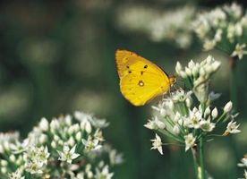 Cómo crear un hábitat de la mariposa cubierta