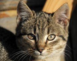 La eliminación de las cataratas en los gatos