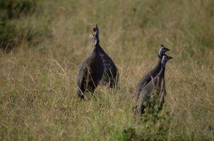 Cuál es la diferencia entre macho y hembra Guinea Aves?