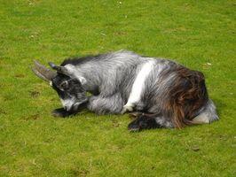 El tratamiento a base de plantas coccidiosis de Molly para las cabras