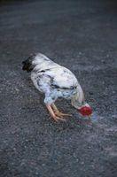 Hágalo usted mismo Alimentadores de pollo