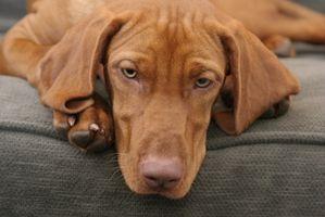 Cómo limpiar las camas del perro del cedro