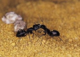 Sobre la hormiga Granjas