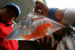 Cómo determinar Goldfish Sexo