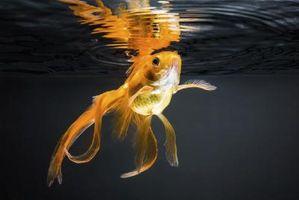 Cómo saber si un pez de colores está embarazada
