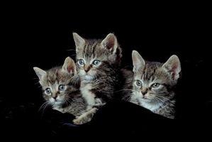 ¿Por qué los gatos ronronean los Sólo alrededor de los humanos?
