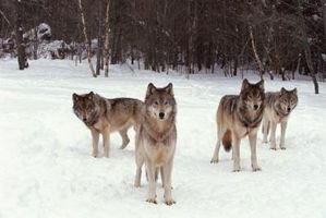 Maneras que los lobos Comunican