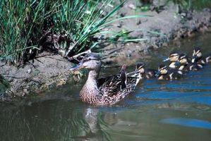 El ciclo de vida de los patos del bebé