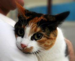 La pérdida de pelo felina sobre las espaldas de las piernas
