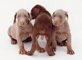La información sobre los perritos del Doberman