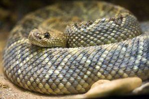 Cómo conservar la piel de serpiente del traqueteo