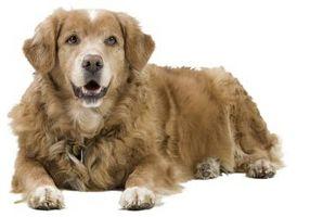 Cómo evitar la hinchazón del estómago en los perros
