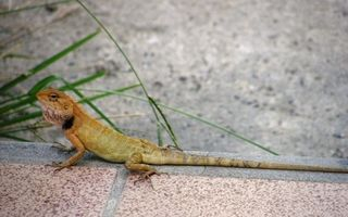 Cómo saber si un gecko es un macho o una hembra?