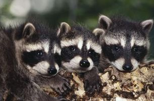 Cómo alimentar a los mapaches recién nacidos