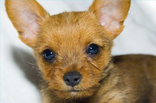 Cura para las infecciones oculares caninas