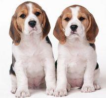 Información sobre perros Beagle