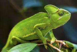 ¿Qué frutas y verduras puede Coma camaleones?