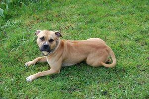 Efectos a largo plazo de la enfermedad de Lyme en los perros