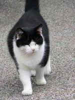 Cómo administrar un gato con sobrepeso