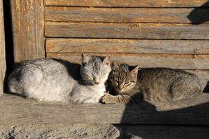 Los síntomas felino anquilostoma y las colas de gato