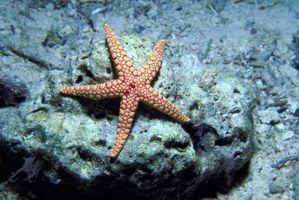 ¿Cuánta comida se puede comer una estrella de mar al día?