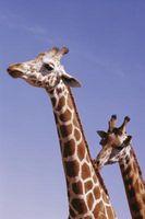 Cómo Alimenta y cuida de las jirafas