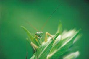 Las variedades de la Mantis religiosa