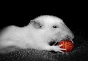 Cuáles son las causas de la pérdida de peso en ratas como mascotas?