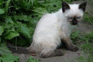 Benadryl para los gatos con asma