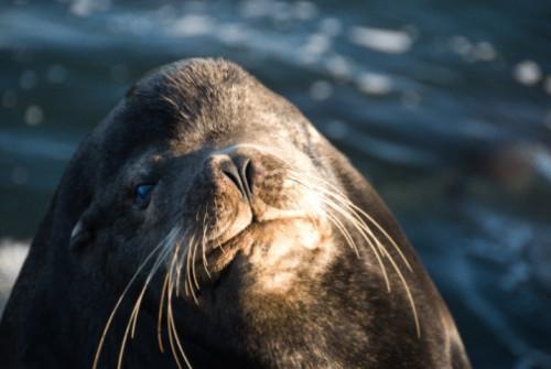 Los hábitos de alimentación Caribe Monk Seals