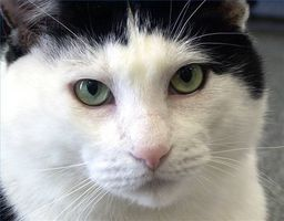 Cómo diagnosticar enfermedades del gato