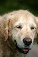 Cómo cuidar a un perro con la enfermedad de Cushing